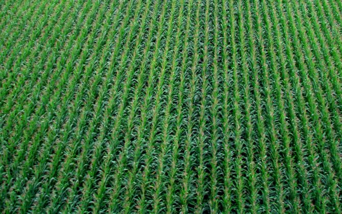 Cornfield (Photo: Chris Klink, CC BY-NC-2.0)