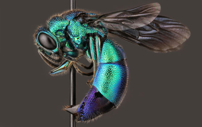 Cuckoo-wasp, Chrysididae. Photo by Insects Unlocked (Public Domain)